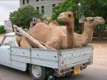 camels in van