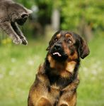cat leaping at startled dog