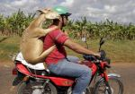 animal on back of motorcycle deer